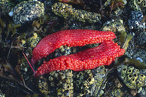 Salmon Roe On Rocks