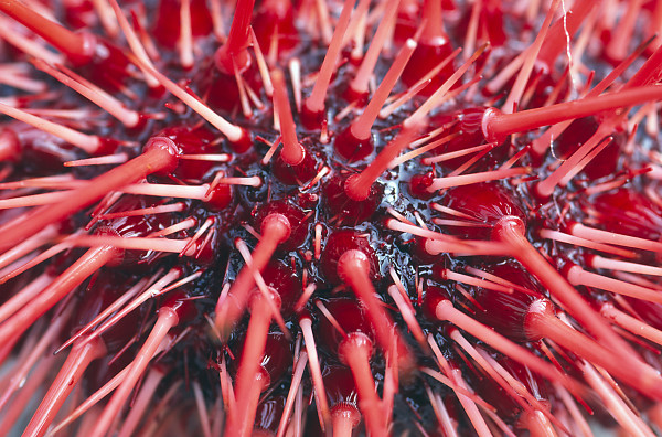Spines On Urchin