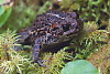 Western Toad In Moss