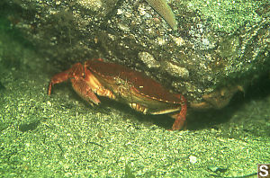 One Arm Red Crab