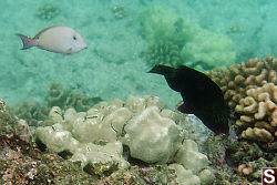 Brown Surgeonfish (light colour) and Parrotfish
