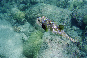 Boxfish Swimming By