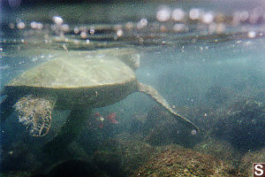 Turtle At The Surface