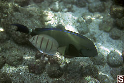 Unknown Fish and Convict Tang