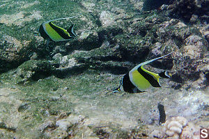 Pair of Moorish Idols