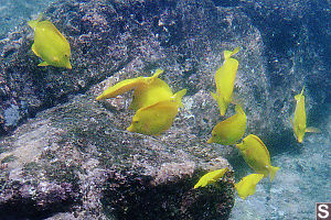 Yellow Tang's Feeding in a School