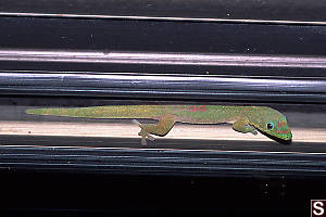 Gecko Between Glass