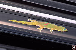 Gecko on Door Frame