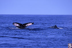 Two Whales on the Surface