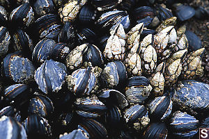 Mussels And Barnacles