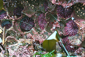 Purple Sea Urchins In Holes