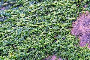 Short Sea Lettuce