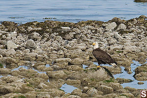 Eagle On Beach Rocks