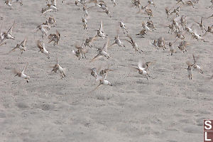 Western Sandpipers Flying Away