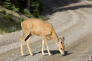 Mule Deer Eating Road