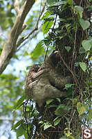 Three Toed Sloth And Baby