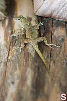 Puerto Rican Crested Anole From Behind