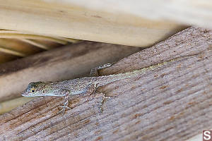 Puerto Rican Crested Anole Side Shot