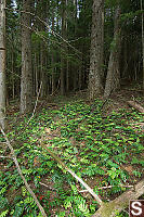 Patch Of Oregon Grape