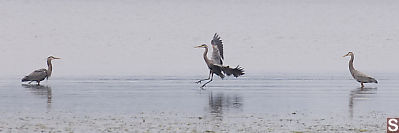 Heron Landing Between Two