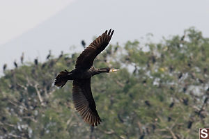 Cormorant Flying By