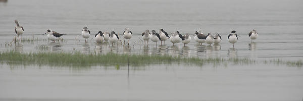 Black Winged Stilts Sleeping