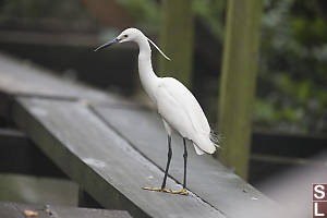 Little Egret On Floating Boardwalk