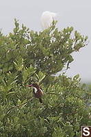 White Throated Kingfisher In Mangroves