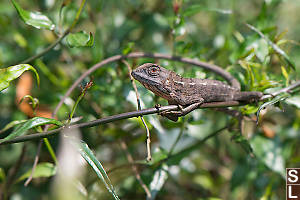 Changeable Lizard Basking