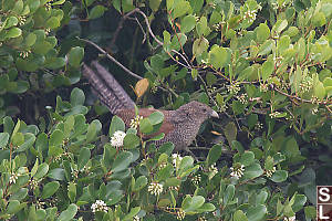 Immature Greater Coucal