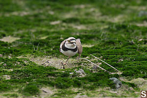 Little Ringed Plover Breeding