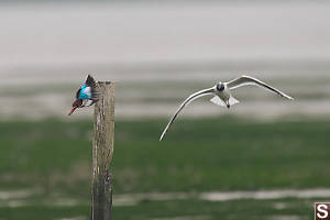 White Throated Kingfisher Chased Off Perch