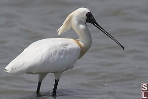 Black Faced Spoonbill Profile
