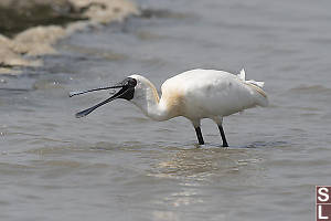 Blackface Spoonbill Swallowing Fish