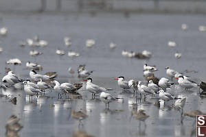 Caspian Terns In Crowd