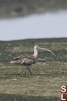 Eurasian Curlew Missing Foot