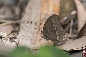 South China Bush Brown