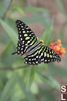 Tailed Jay On Milkweed