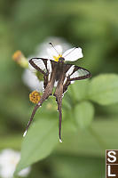 White Dragontail On Bidens Alba