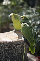 Blue-frontedAmazon Pair