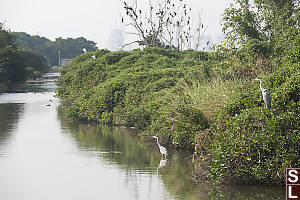 Grey Herons On Gei Wai