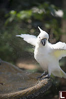 Sulphur-crestedCockatoo Having Shower