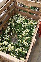 Crated Daffodils