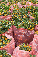 Mandarin Trees For Sale