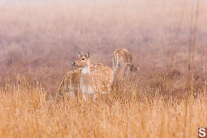 Spotted Deer In The Grass