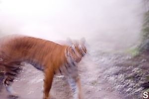 Tiger In The Early Morning