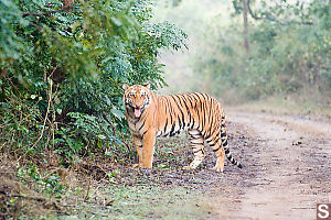 Tiger Next To Road