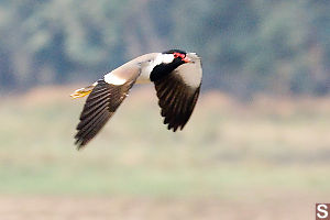 Red-Wattled Lapwing Flying By