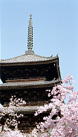 Temple in Sakura