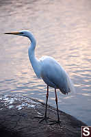 Intermediate Egretta